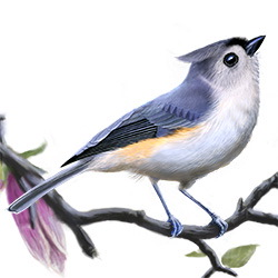Tufted Titmouse Body Illustration