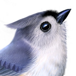 Tufted Titmouse Head Illustration