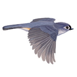 Tufted Titmouse Flight Illustration