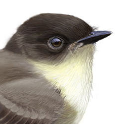 Eastern Phoebe Head Illustration