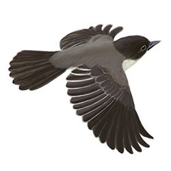 Eastern Phoebe Flight Illustration