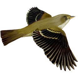 Least Flycatcher Spring Flight Illustration