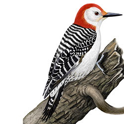 Red-bellied Woodpecker Body Illustration