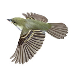 Acadian Flycatcher Flight Illustration.jpg