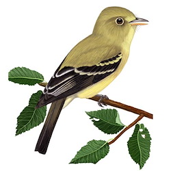 Yellow-bellied Flycatcher Spring Male Body Illustration
