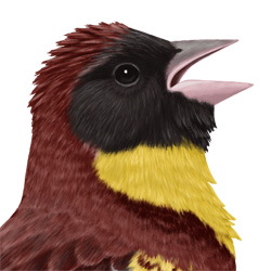 Yellow-breasted Bunting Head Illustration