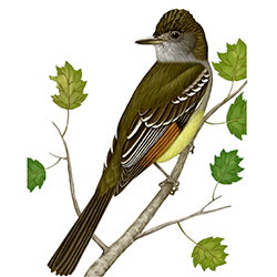 Great Crested Flycatcher Body Illustration