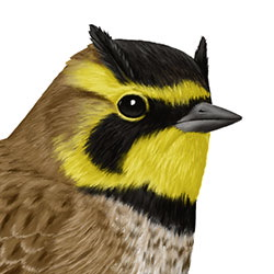 Horned Lark Head Illustration