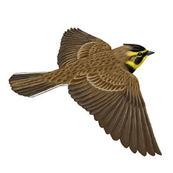 Horned Lark Flight Illustration