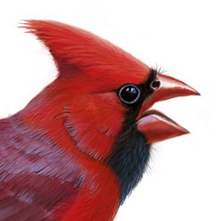 Northern Cardinal Head Illustration