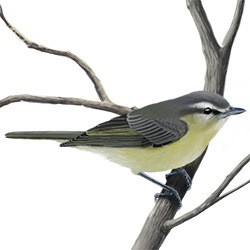 Philadelphia Vireo Body Illustration
