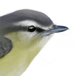 Philadelphia Vireo Head Illustration