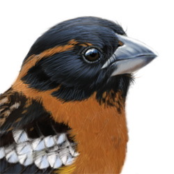 Black-headed Grosbeak Head Illustration