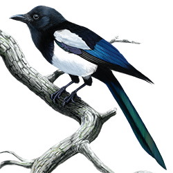 Black-billed Magpie Body Illustration