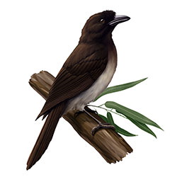 Brown Jay Body Illustration