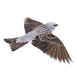 Gray Bunting Flight Illustration