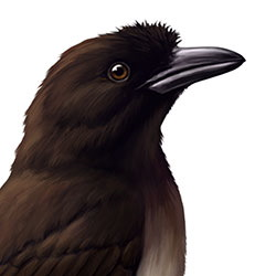 Brown Jay Head Illustration