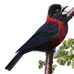 Crimson-collared Grosbeak Body Illustration