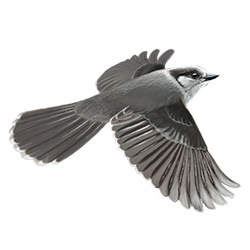Canada Jay Flight Illustration