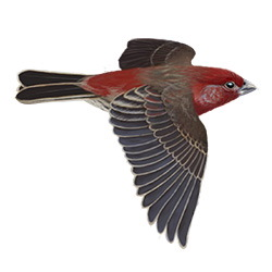 House Finch Flight Illustration