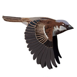 House Sparrow Flight Illustration