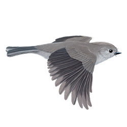 Oak Titmouse Flight Illustration