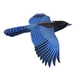 Steller's Jay Flight Illustration