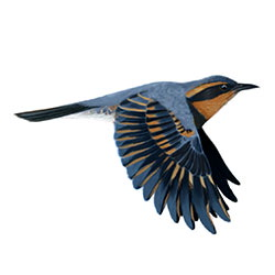 Varied Thrush Flight Illustration