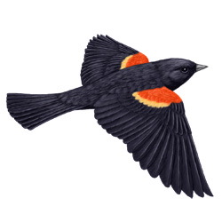 Red-winged Blackbird Flight Illustration