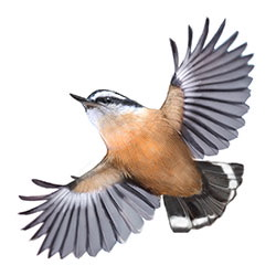 Red-breasted Nuthatch Flight Illustration