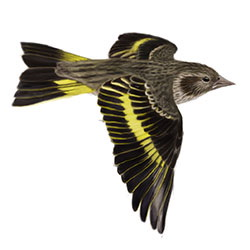 Pine Siskin Flight Illustration
