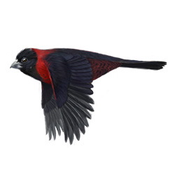 Crimson-collared Grosbeak Breeding Male Flight Illustration