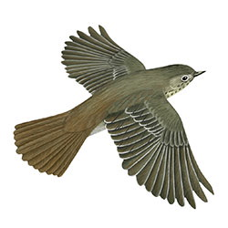 Hermit Thrush Flight Illustration