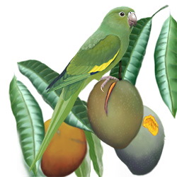 Yellow-chevroned Parakeet Body Illustration