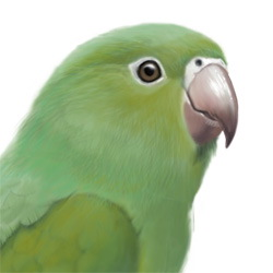 Yellow-chevroned Parakeet Head Illustration