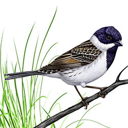 Pallas's Bunting Body Illustration