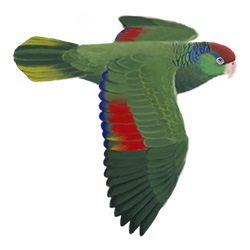 Red-crowned Parrot Flight Illustration