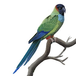 Nanday Parakeet Body Illustration