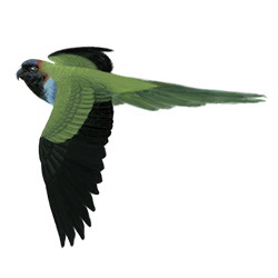 Nanday Parakeet Flight Illustration