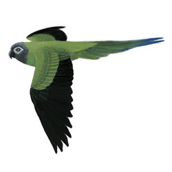 Dusky-headed Parakeet Flight Illustration