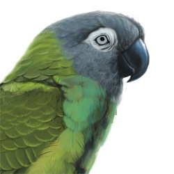 Dusky-headed Parakeet Head Illustration