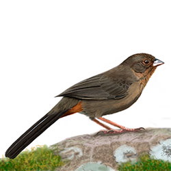 California Towhee Body Illustration