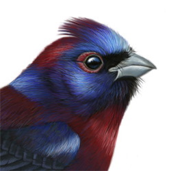 Varied Bunting Head Illustration