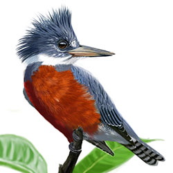 Ringed Kingfisher Body Illustration