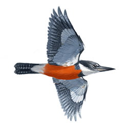 Ringed Kingfisher Flight Illustration