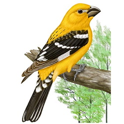 Yellow Grosbeak Breeding Male Body Illustration