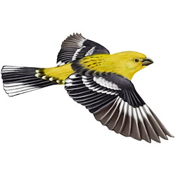 Yellow Grosbeak Breeding Male Flight Illustration