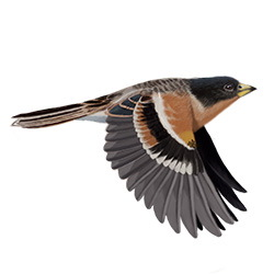 Brambling Breeding Male Flight Illustration