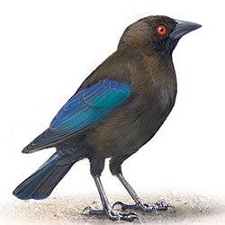 Bronzed Cowbird Body Illustration.jpg