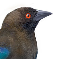 Bronzed Cowbird Head Illustration.jpg